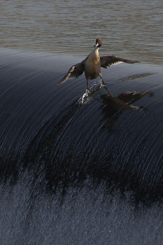 Canard fait du surf